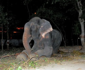 The-Rescue-of-Raja-the-Elephant-0007